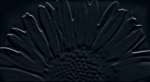 Sunflower Black 593x327 / 8mm
