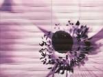 Maxima violet 2 898x673 / 8mm